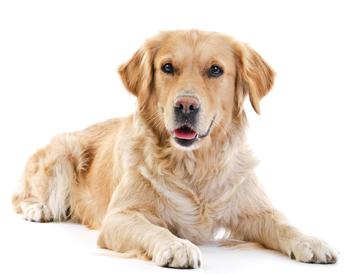 Hond met vlooien bestrijden